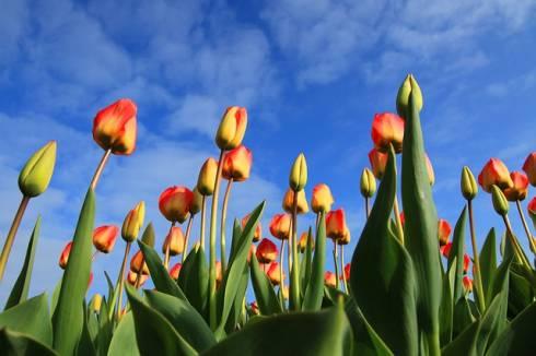 számok hollandul - tulipánok